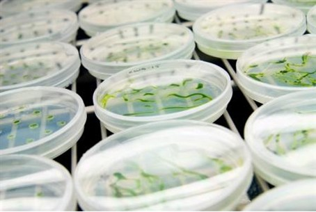 Petri dishes with developing plants and algae