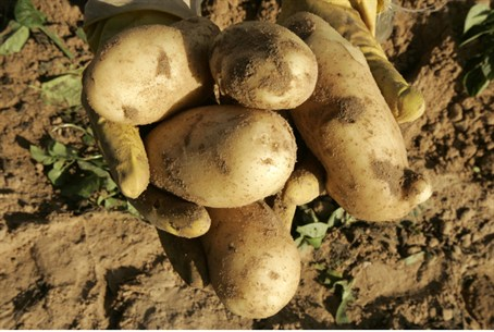 Israeli potatoes are 'non grata' in Shechem
