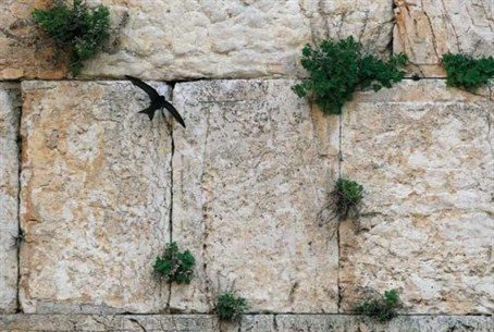 'Common Swift' returns to Western Wall