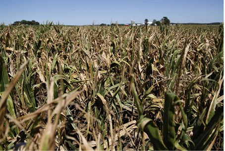 Underdeveloped corn crops, which have been af