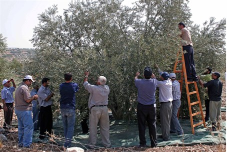 Arabs harvesting olives