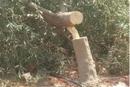 Olive tree damaged by Samaria Arabs