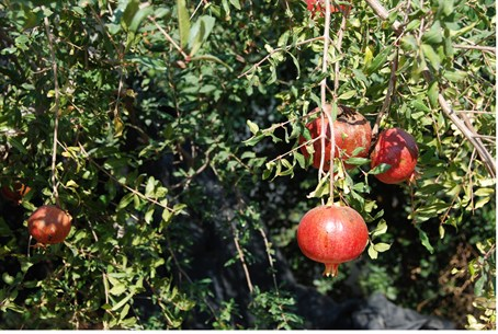 Pomegranates growing in a private garden in G