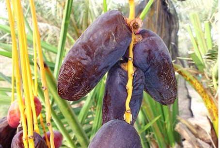 Anerba dates on the tree