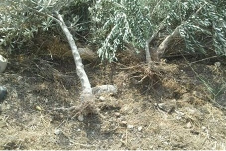 Felled olive trees (file)