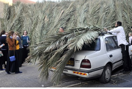 Gathering palm fronds for a sukkah