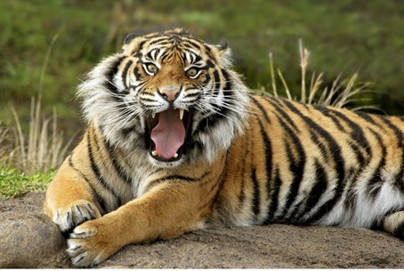 Endangered species: Sumatran tiger
