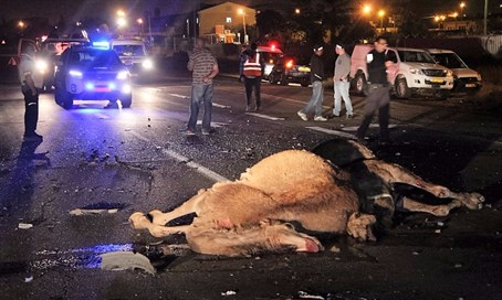 Camel accident Sunday night