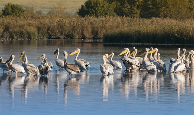 Pelicans at Hula Lake