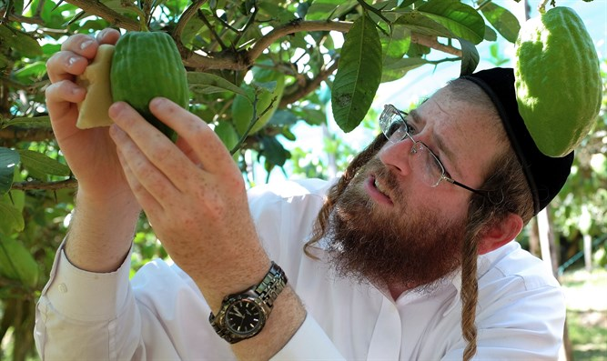 Samuel Ekstein from New York City inspecting a citron fruit in Santa Maria Del Cedro, sout