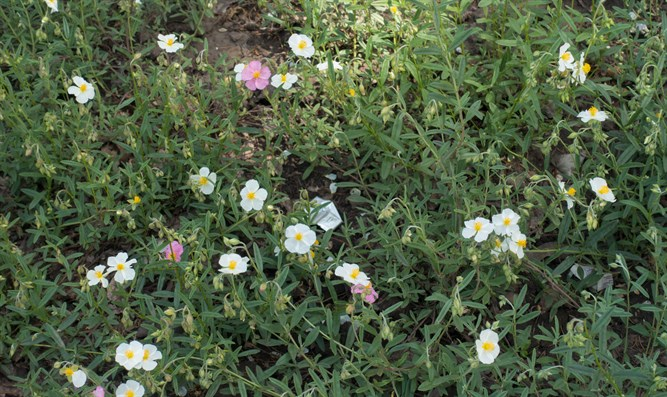 Helianthemum (illustrative)