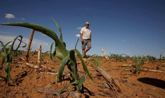 Farmer inspects maize field in Hoopstad, South Africa
