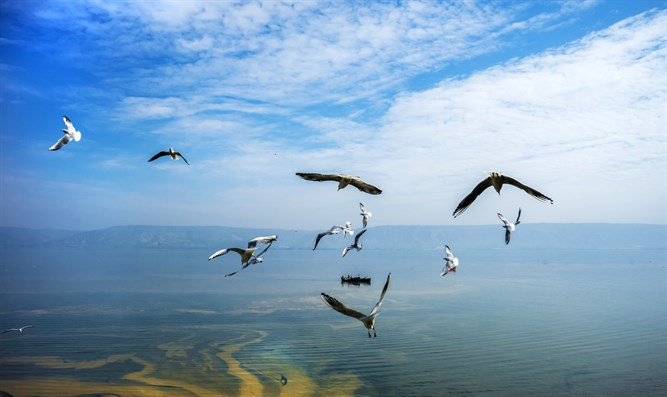 Seagulls over the Kinneret