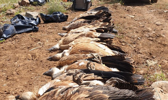 Arab suspected in poisoning of vultures in the Golan Heights
