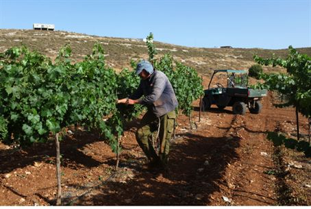 Jewish farmer tends his vineyard