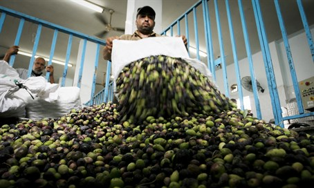 Olive oil production (illustration)