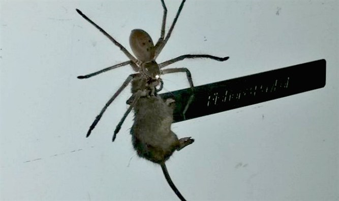 spider drags mouse